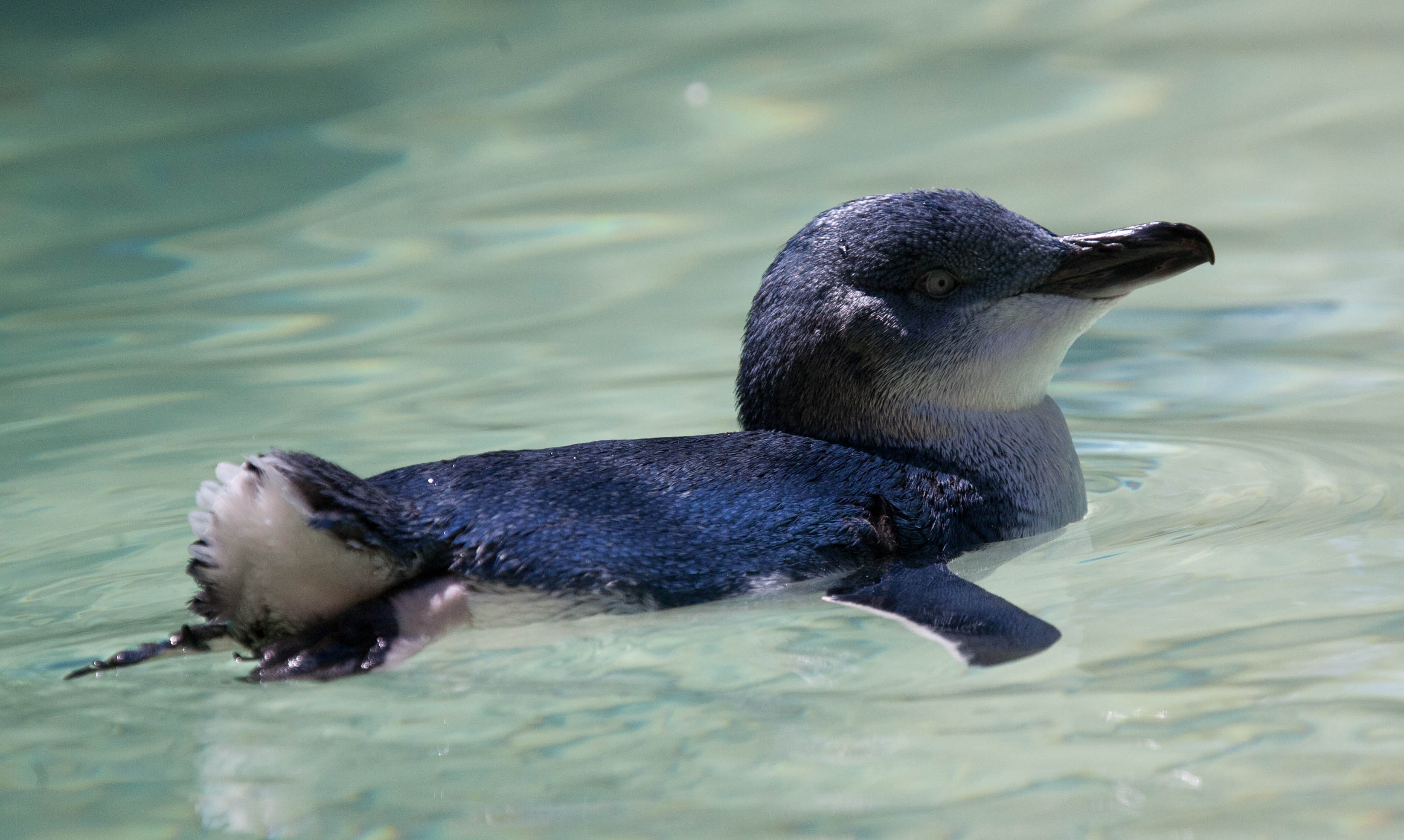 interesting facts about fairy penguins