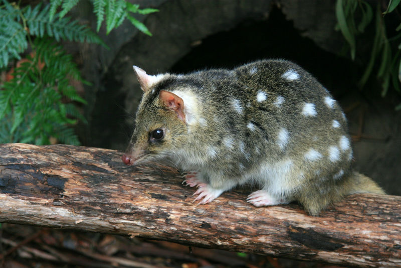 Eastern Quoll Returns To Jervis Bay
