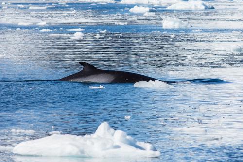 Whaling of Minke Whales